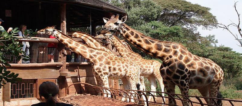 Giraffe Centre Day Tour Nairobi