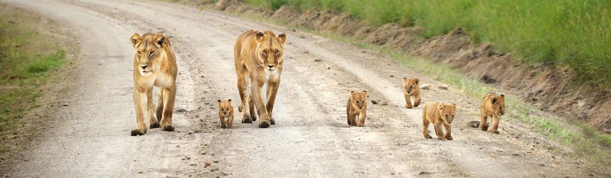 Masai Mara lion family