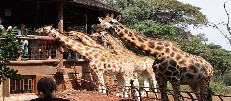 Giraffe Centre Day Tour Nairobi