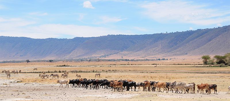 Maasai_cattle_Ngorongoro