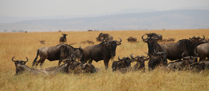 Masai Mara migration safaris