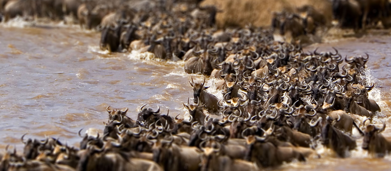 WILDBEEST MIGRATION AT MASAI MARA RIVER