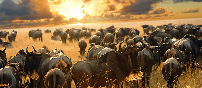 great-migration-serengeti-sun-set